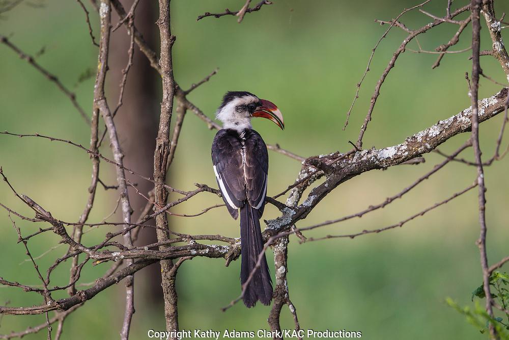 Von Der Decken's hornbill, Tockus deckeni, Serengeti, Tanzania, Africa.