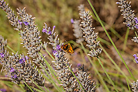 Lavender blossoms with orange moth.