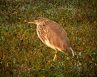 Indian Pond Heron. Bharatpur-- Keoladeo Ghana National Park, Rajasthan, India. Image taken with a Nikon 1 V3 camera and 70-300 mm VR lens.