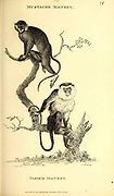 Varied Monkey and Mustache Monkey from General zoology, or, Systematic natural history Part I, by Shaw, George, 1751-1813; Stephens, James Francis, 1792-1853; Heath, Charles, 1785-1848, engraver; Griffith, Mrs., engraver; Chappelow. Copperplate Printed in London in 1800. Probably the artists never saw a live specimen