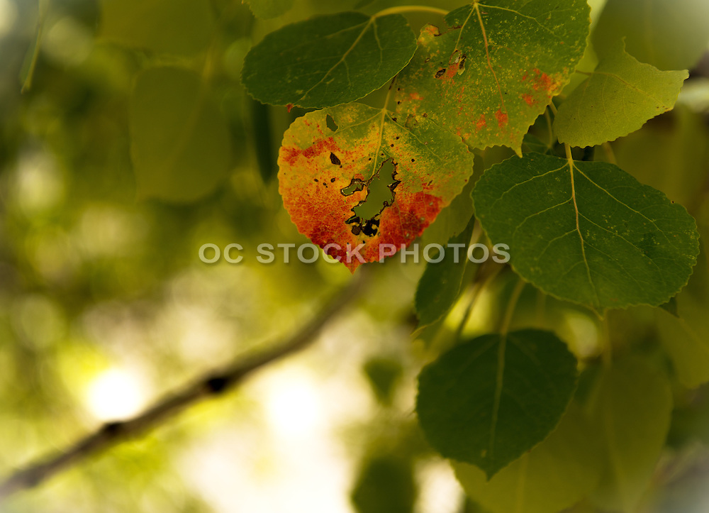Birch Tree Leaves Turing Colors During Fall