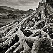 While on the approach to the head of Loch laidon across the rock and heather strewn bogs of Rannoch moor I stumbled upon this beautiful convoluted pattern of roots that had bee revealed due to the gradual erosion of the peat around the waters edge. I was drawn by the skeletal whiteness of the sun bleached foundation of a once majestic pine that had towered over the now bleak moor in earlier times.