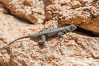 Sceloporus occidentalis (Western Fence Lizard) at Grizzly Flat, Angeles NF, Los Angeles Co, CA, USA, on 11-Apr-15