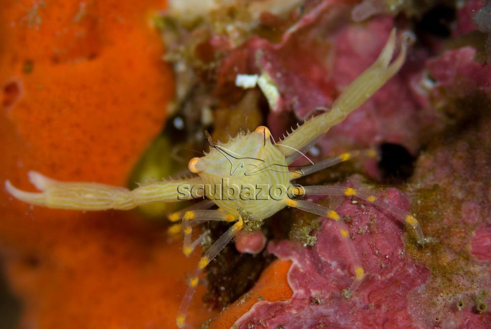 Porcelain Crab, KBR, Lembeh Strait, Sulawesi, Indonesia.