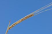 2 Row Barley closeup<br /> Piapot<br /> Saskatchewan<br /> Canada