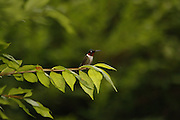 male humming bird perched on tree branch, dorset, vt