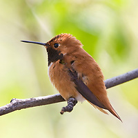 Male rufous Hummingbird near Revelstoke, British Columbia