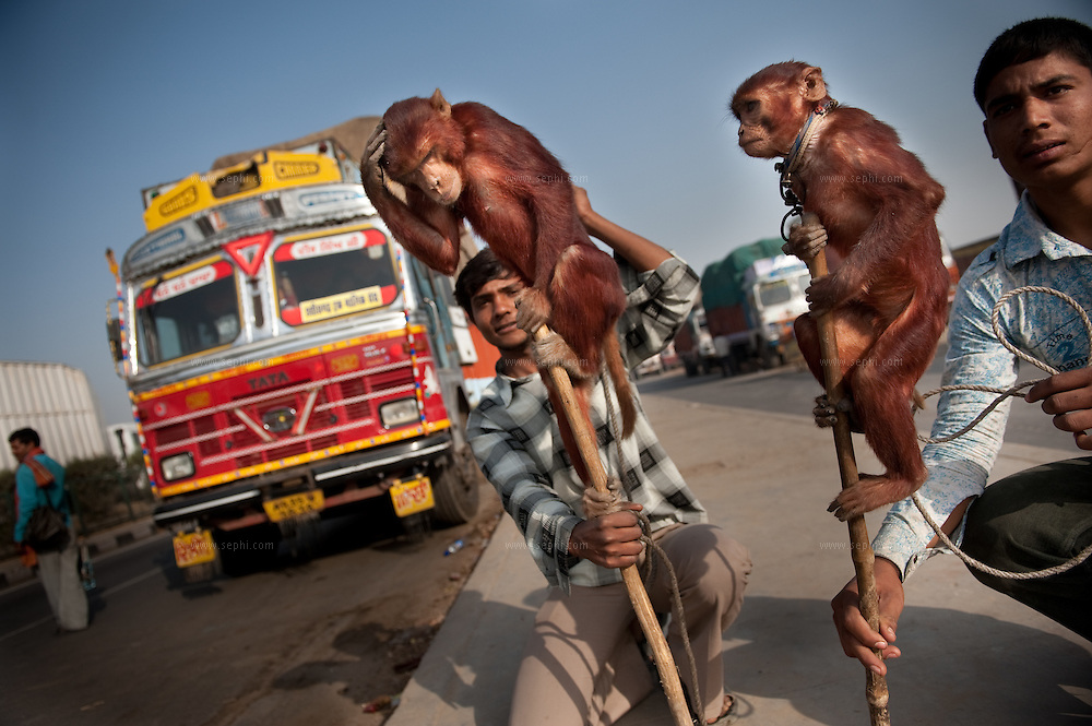 Monkeys are used as a form of entertainment by roadside peddlers at the Haryana/Uttar Pradesh border toll plaza.