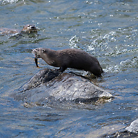 River otters fishing in the Lamar Raver. Yellowstone National Park, Wyoming.