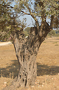 Israel Galilee Olive tree close up