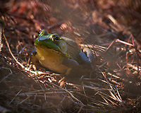 Kermit in the Grass. Image taken with a Nikon D810a camera and 70-300 mm VR lens