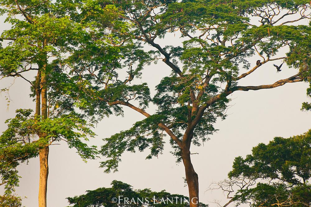 Hooded vultures in tree, Necrosyrtes monachus, Atobiase, Ghana