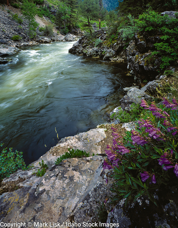 Idaho, Frank Church Wilderness. Mountain bluebells adorn the banks of the Middle Fork of the Salmon River at Pistal Creek rapid.