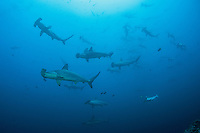 "Scalloped Hammerhead Sharks schooling near the top of a submerged seamount, in order to be ""cleaned"" by Angelfishes and Barberfishes.<br /> <br /> <br /> Shot at Cocos Island, Costa Rica"