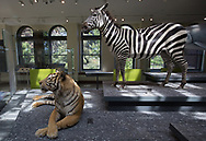 Zebra  and a tiger, on display at the Natural History Museum of Los Angeles County