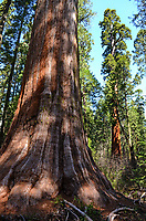 Sequoias, California redwoods, Calaveras Big Trees State Park, California, USA, 201304211669<br />