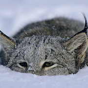 Canada Lynx (Lynx canadensis) in a pounce position portrait in Montana. Captive Animal