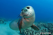 Hawaiian monk seal, Monachus schauinslandi, yearling female ( critically endangered species ), Mahukona, Kohala, Hawaii Island ( the Big Island ) Hawaiian Islands ( Central Pacific Ocean )