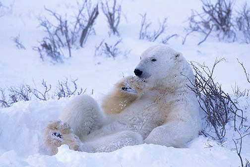 Polar Bear, (Ursus maritimus)  Young bear resting in willows. Cape Churchill, Manitoba. Canada.