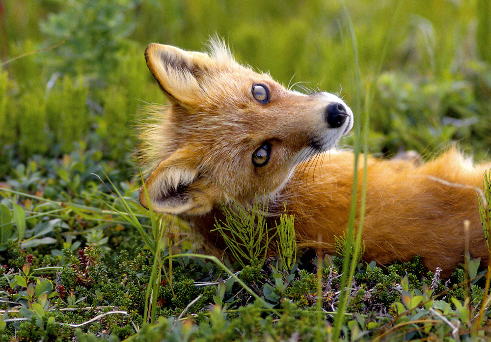 Alaska. Red Fox turns to gaze at curious photographer from its grassy knoll in the Aleutian Islands.