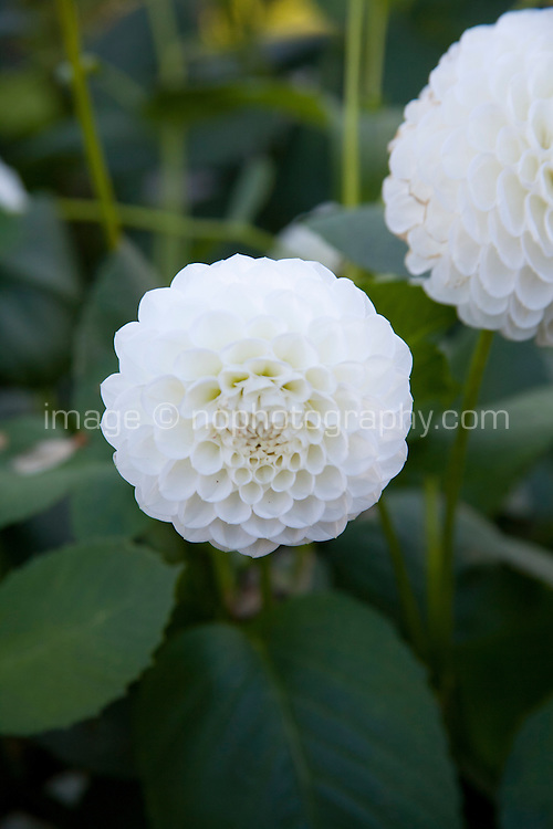 White Dahlia flowers, L'Ancresse variety,  growing in an Irish garden