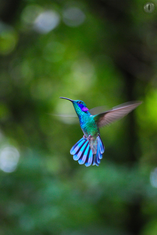 A green violetear hummingbird frozen in flight in Monteverde, Costa Rica.