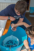 Giulia Bergamaschi, researcher with Tethys Research Institute, places specimens of colonial hydrozoan Velella velella into a container held by research intern Filippo Santini for preservation and analysis, Pelagos Sanctuary, Ligurian Sea, Italy ( Mediterranean Sea )