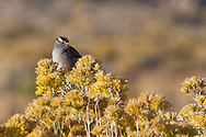 A white-crowned sparrow perches on flowering rabbit bush