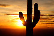 Saguaro cactus, (carnegiea gigantea), at sunset in Redington Pass in the Rincon Mountains in the Coronado National Forest in the Sonoran Desert, Tucson, Arizona, USA.
