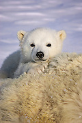 Polar Bear<br /> Ursus maritimus<br /> 3-4 month old cub peeking over mother's body while mother is anesthetized by polar bear biologists<br /> Wapusk National Park, Canada