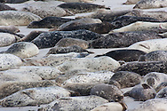 A colony of harbor seals rests on the beach during the middle of the day.