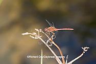 06666-00502 Autumn Meadowhawk dragonfly (Sympetrum vicinum) male, Marion Co. IL