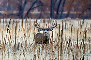 Large Mule deer buck in autumn habitat