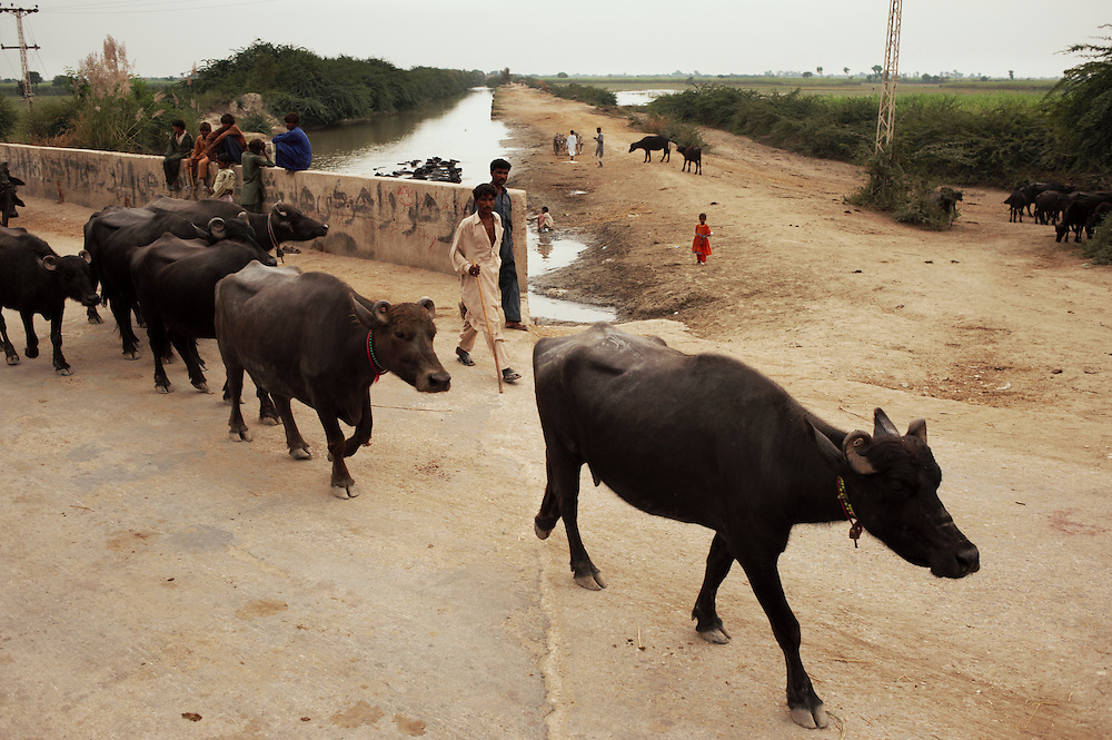 Herdsmen lead buffalo to drink in a sub drain within the displaced flood community of Badin District, Sindh, Pakistan on November 2,  2011. In August 2011, Heavy monsoon rains triggered flooding in lower parts of Sindh and northern parts of Punjab. The regular migration of livestock each year is was from Badin district to Tharparkar. Usually they are moved in June but as there had been no rains, the majority of herdsmen did not undertake the migration. The rains beginning in August forced them to move to Tharparkar and by this time the majority of decent fodder had been washed away. 100,000 cattle died as a result. .