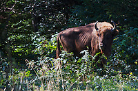 Two year-old male European Bison or Wisent (Bison bonasus) in an accomodation enclosure in Bieszczady National Park shortly after its release. The bison was donated by Prague Zoo. Bukowiec, Poland.