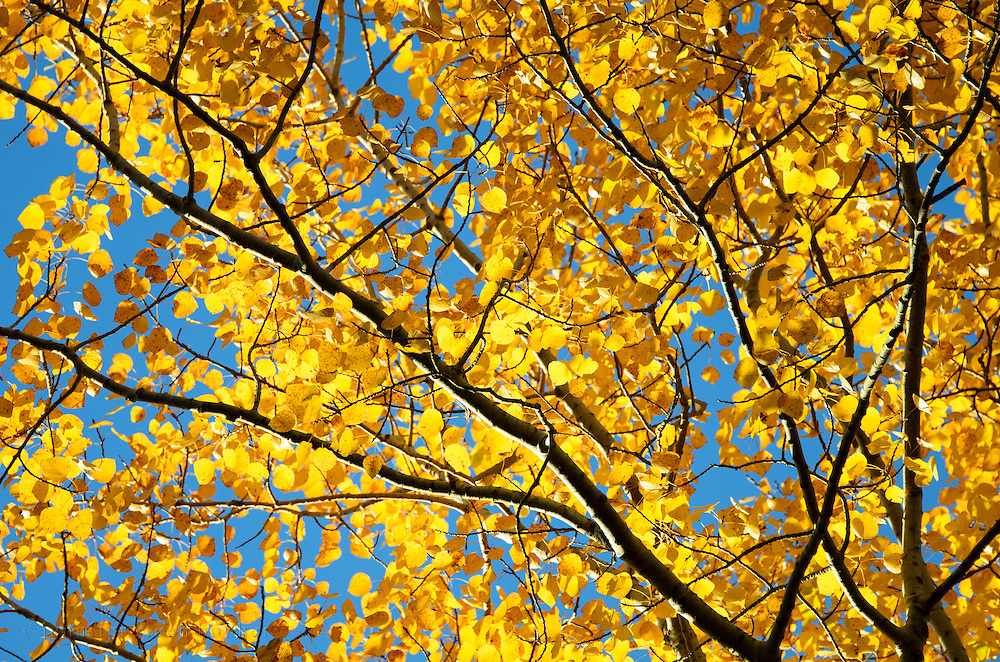 Golden birch leaves against a blue autumn sky, Acadia National Park, Maine.