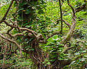 ISLAND TROPICAL FORESTS: HAWAII