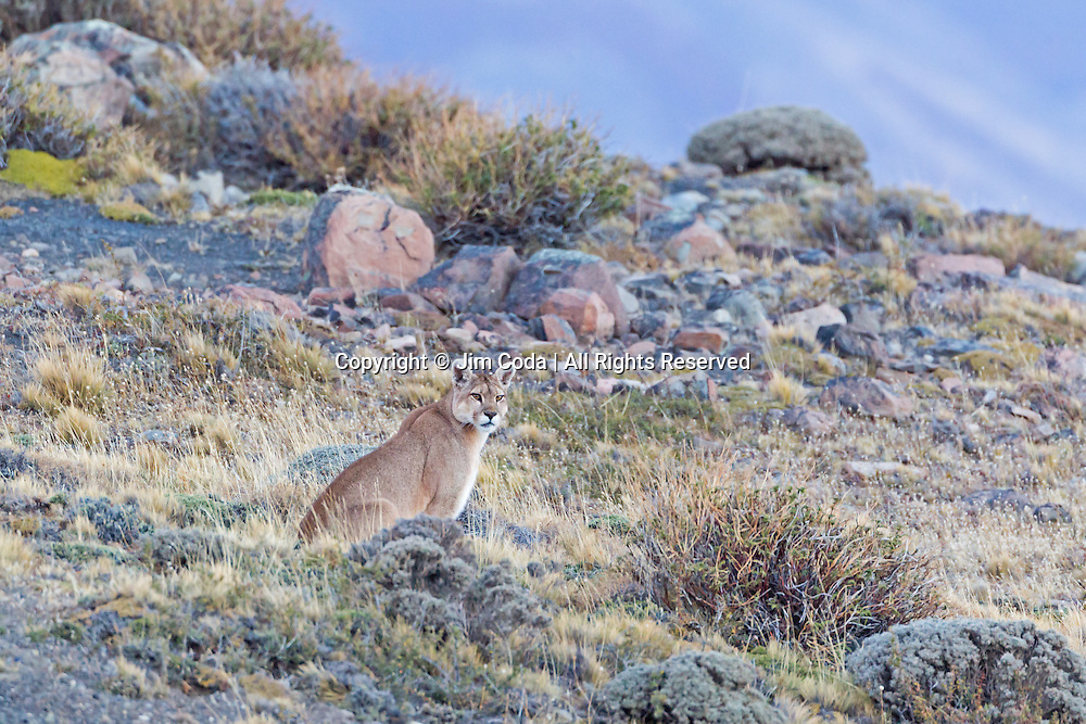 A puma stops for a rest as it begins its hunt at twilight in Torres del Paine National Park.