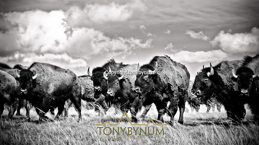 bison in grasslands habitat