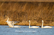 00759-00306 Four Tundra Swans (Cygnus columbianus) in wetland at Prairie Ridge State Natural Area, Marion Co., IL