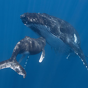 Female humpback whale calf nuzzling its mother, underscoring the bond and affection between the adult and baby. Photographed in Vava'u, Kingdom of Tonga.