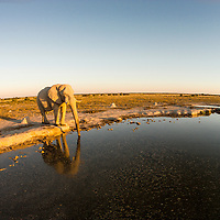 Africa, Botswana, Nxai Pan National Park, Aerial view of Bull Elephant (Loxodonta africana) drinking at artificial water hole in Kalahari Desert at sunset