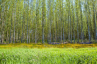 A poplar tree farm.