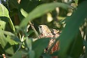 nesting female Black-chinned Hummingbird (Archilochus alexandri)