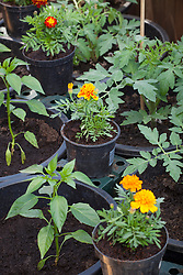 Companion planting. Pots of marigolds placed amongst young tomato plants in the greenhouse to attract aphids and bugs away from main crops. Calendula