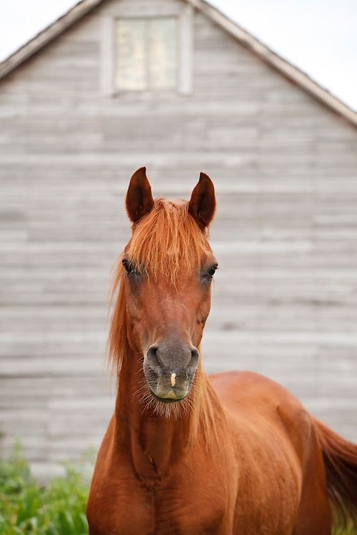 Sorrel Arabian horse in front of barn and looking at camera