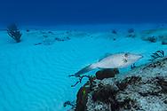 Scrawled filefish - Poisson-lime gribouillé (Aluterus scriptus), Cozumel, Yucatan peninsula, Mexico.