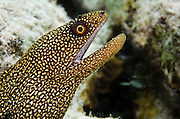 Goldentail Moray (Gymnothorax miliaris)<br /> BONAIRE, Netherlands Antilles, Caribbean<br /> HABITAT &amp; DISTRIBUTION: Shallow to midrange reefs. Florida, Caribbean, Bahamas, Gult of Mexico, Bermuda south to Brazil
