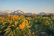 Morning sun on balsamroot flowers in front of Mount Moran. Grand Tetons National Park, Wyoming.