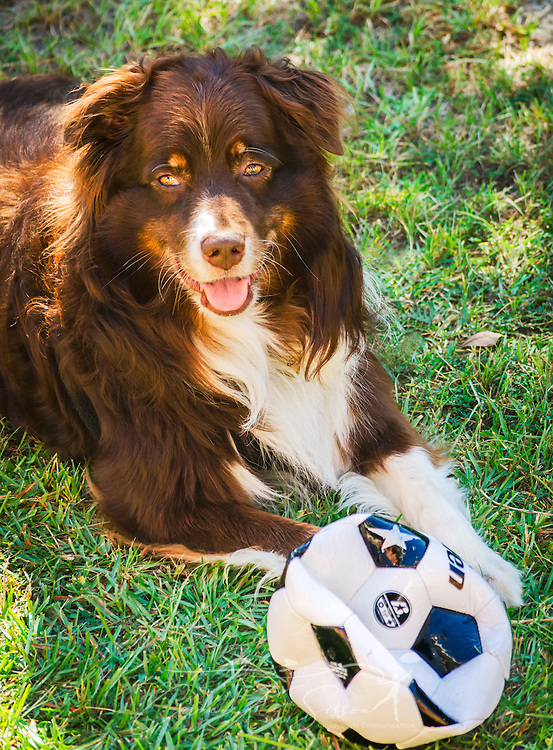 Cowboy, a six-year-old, red tri Australian Shepherd dog, plays outside with a soccer ball on a sunny day in Coden, Alabama. (Photo by Carmen K. Sisson/Cloudybright)
